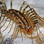 Una delle specie più comuni di millepiedi